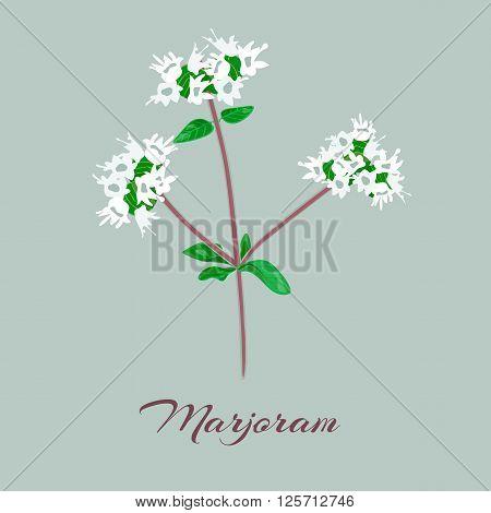 Marjoram or Origanum majorana. Flowers and leaves. Vector illustration.