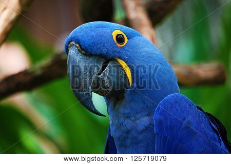 Close up of a Blue Parrot smiling