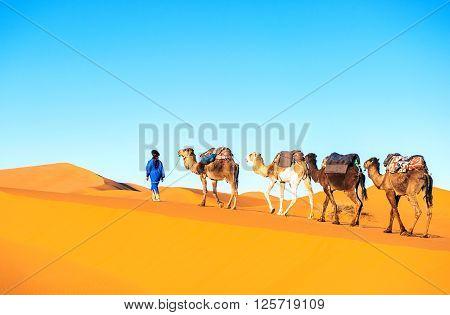 Camel caravan going through the sand dunes in the Sahara Desert Morocco. poster