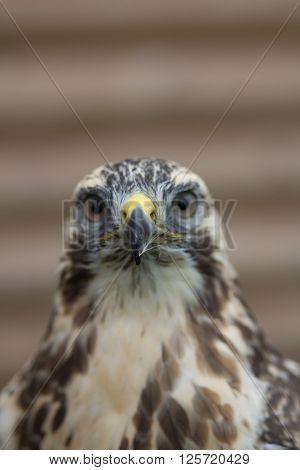 Buzzard Portrait (Buteo buteo) Close portrait of Buzzard Portrait (Buteo buteo) with a small feather stuck to his beak. ** Note: Shallow depth of field