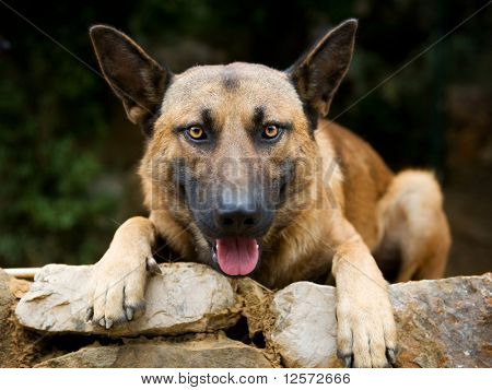 Dog.German Shepherd poster