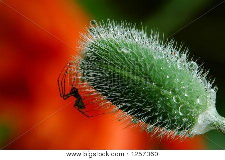 Sharp Spider On Poppy Bud With Raindrops