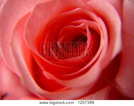 A Single Pink Rose Macro