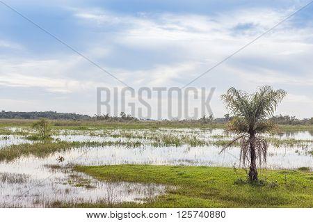 Buriti tree at wetlands - Mato Grosso do Sul State - Brazil