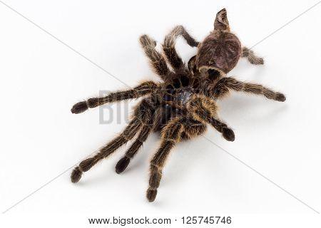 Tarantula Molt Rose Haired Spider Specimen High Resolution