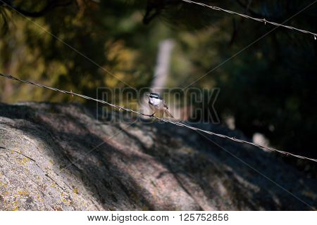 Mountain Chickadee Sitting on a Barb Wire Strand