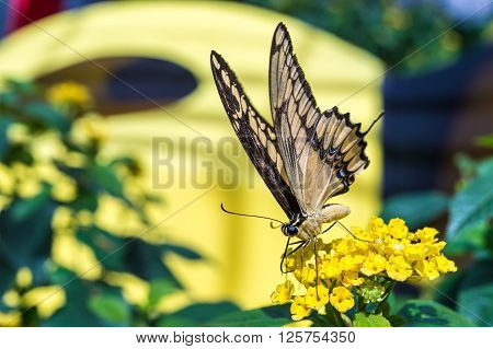 Giant Swallowtail butterfly (Papilio cresphontes) feeding on yellow wildflowers