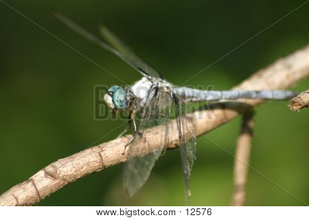 blue-eyed dragon fly perched on a branch poster