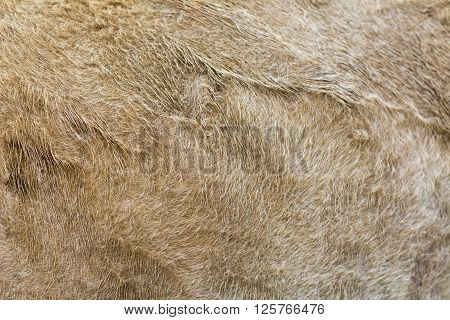 Selective Focus Light Brown Cow Fur For Background
