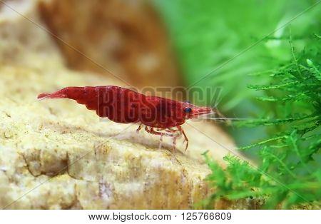 Female cherry shrimp in a planted aquarium