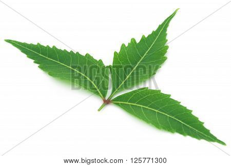 Close up of medicinal neem leaf over white background