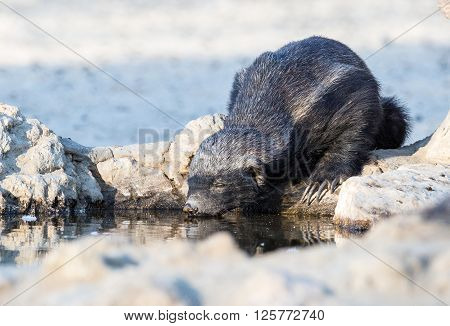 A Honey Badger eyes closed as it is quencing it's thirst in the Kalahari desert drinking at a rocky watering hole.