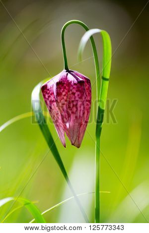 Endangered wild Chess Flower (Fritillaria meleagris)