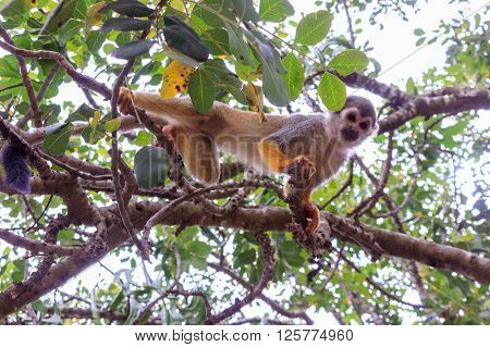 Squirrel monkey Saimiri on a tree branch in a nature reserve