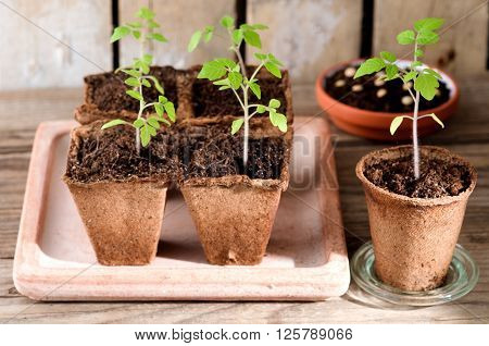 Sprouting tomato seedlings growing in the greenhouse