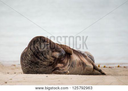 Atlantic Grey Seal Portrait