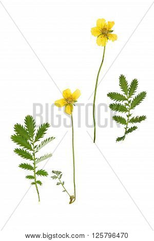 Pressed and dried flower and green carved leaves potentilla anserina isolated on white background.