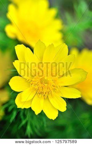 Yellow flowers of adonis (Adonis vernalis). Spring time