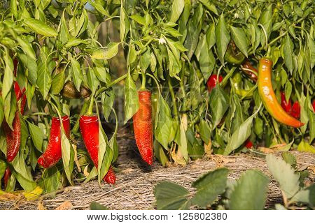 Ripe fruits of chilli growing in the garden