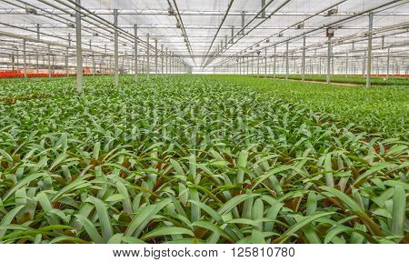 Many potted plants in a large  glasshouse horticulture company that specializes in houseplants.