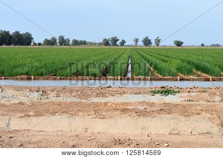 Large field of onions being irrigated in rows.