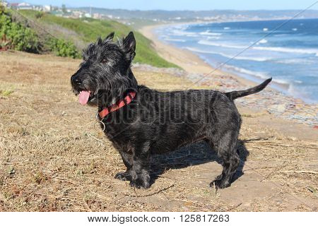 This Scottish terrier loves the beach the most