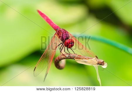 Red Dragonfly (scarlet darter ) on a branch with a green background. (focus on the eye)