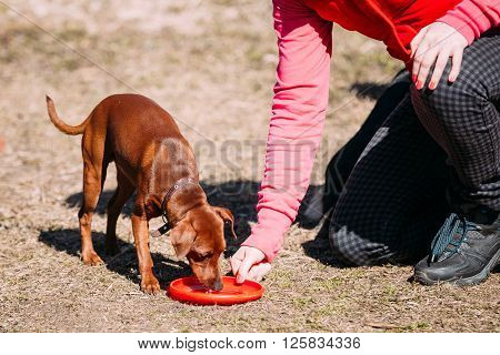 Funny Cute Brown Miniature Pinscher Pincher Outdoor on Frisbee Training