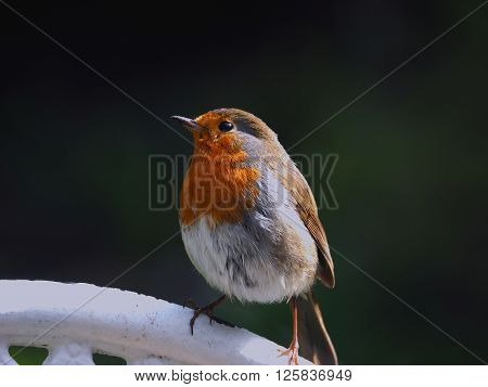 Robin Red breast closeup perched on a garden chair in the sunshine** Note: Soft Focus at 100%, best at smaller sizes