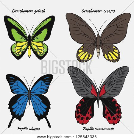 Big realistic collection of colorful butterflies. Ornithoptera croesus and goliath papilionidae rumanzovia and ulysses summer flying insects set for greeting cards and scrapbook