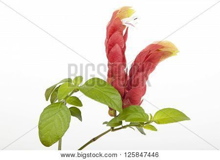 Beautiful rich colored petals and greenleaves of pink prawn plant on white