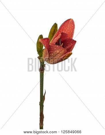 Salmon-colored Daylily (hemerocallis) in drops of dew on a white background isolated.