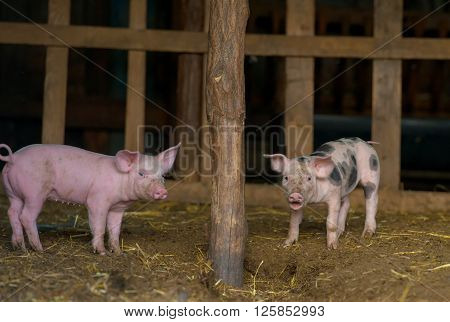 Cute piglet at the farm in spring time