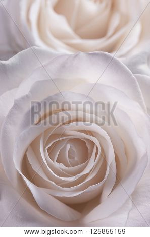 Closeup view of the flower of a rose in soft pink tinge.
