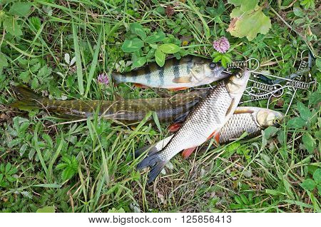 caught pike, perch and chub lie on the grass