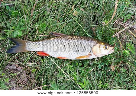 fished big chub lying on green grass