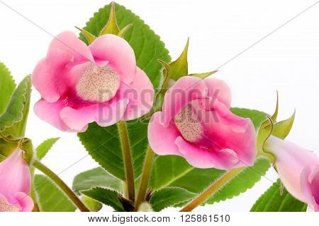 Pink gloxinia on white background close up
