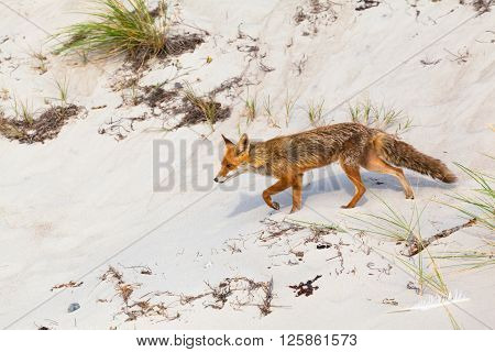 Fox walking on white sand of a beach at sunny day (copy space)