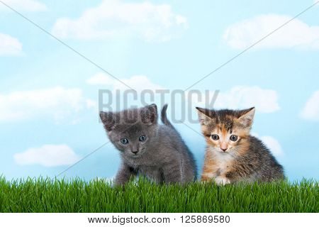 gray tabby and calico tortie tabby with green grass blue sky with clouds background