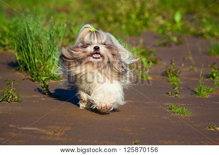 Shih tzu dog running on beach
