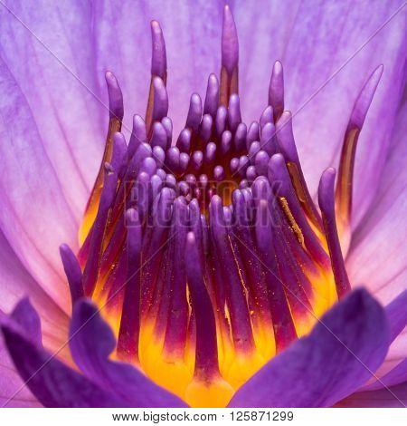 Purple Water Lily Closeup