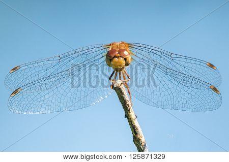 Spot-winged Meadowhawk Iv