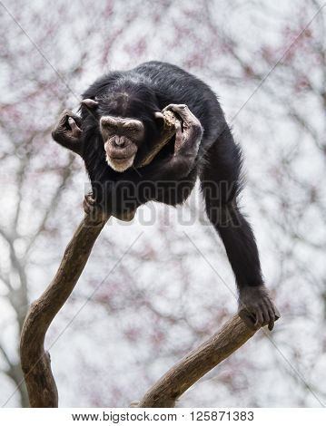 Chimpanzee Xvi