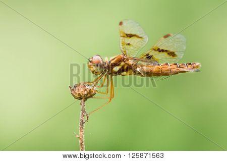 Common Whitetail Ii