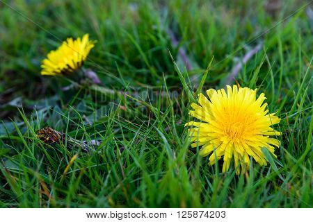 Garden weeds, dandelion in the spring grass