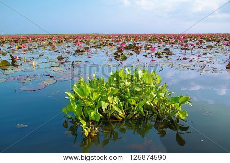 Hyacinth on the water and lotus in lake at thale noi Thailand