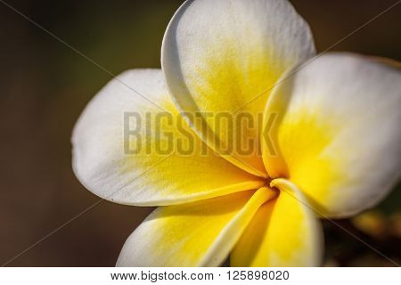 Tropical exotic yellow white beautiful frangipani flower