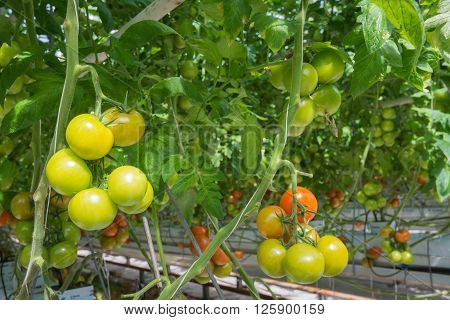 Tomatoes in different stages of maturity in a large Dutch greenhouse. The plants are growing on substrate with very carefully formulated and dosed liquid food.