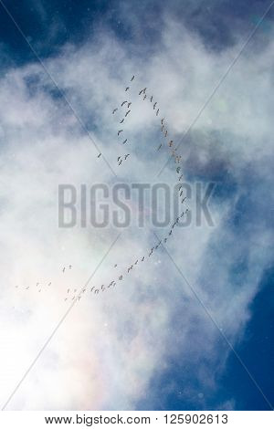 A Heavenly Blue Sky Flock Of Snow Geese (chen Caerulescens) Flying In A Formation