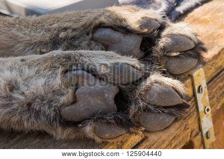 Cheetah Foot Closeup